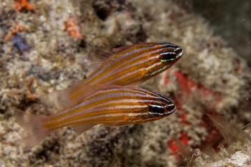 Yellowstriped cardinalfish Ostorhinchus cyanosoma