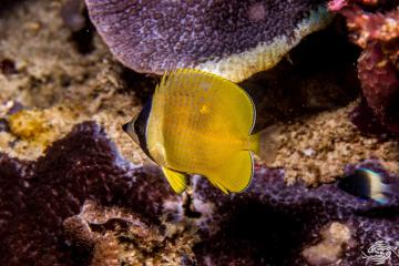 "Sunburst Butterflyfish, Chaetodon kleinii, also known as the Black-lipped Butterflyfish (or ""blacklip butterflyfish"") or Klein's Butterflyfish"