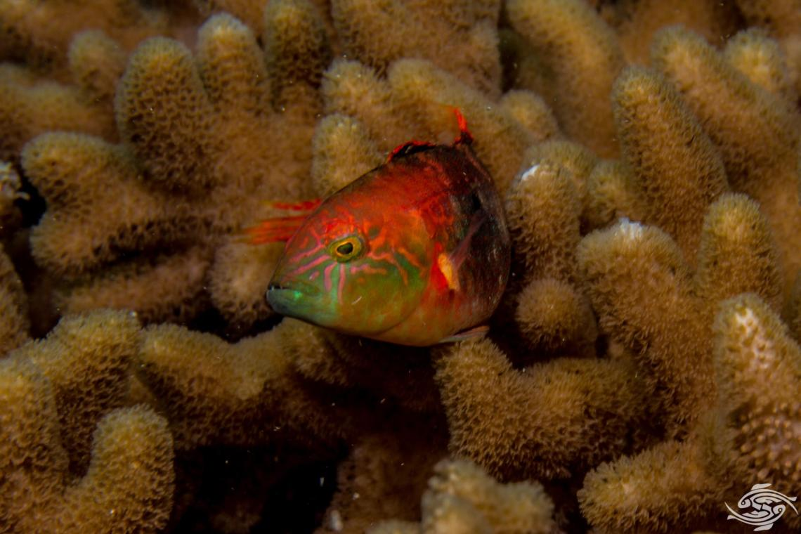 Two-Spot Wrasse (Cheilinus bimaculatus) also known as the Little Maori wrasse and Two-spot wrasse