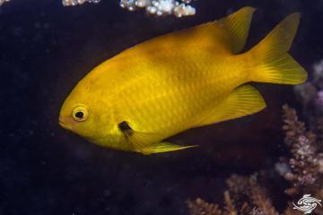 Sulphur Damselfish (Pomacentrus sulfureus)