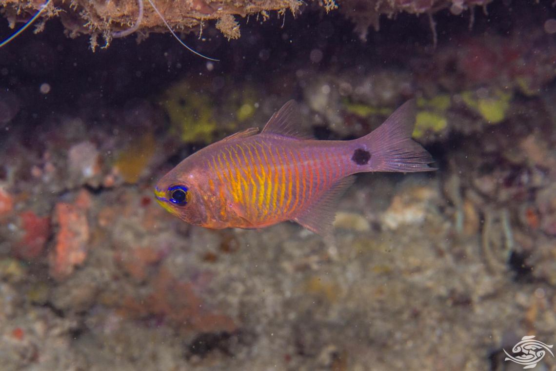 orangelined cardinalfish Taeniamia fucata or painted cardinalfish