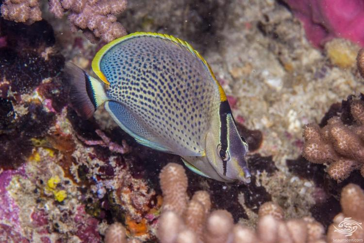 peppered butterflyfish, Chaetodon guttatissimus is also known as the spotted butterflyfish, pebbled butterflyfish and as the gorgeous gussy'