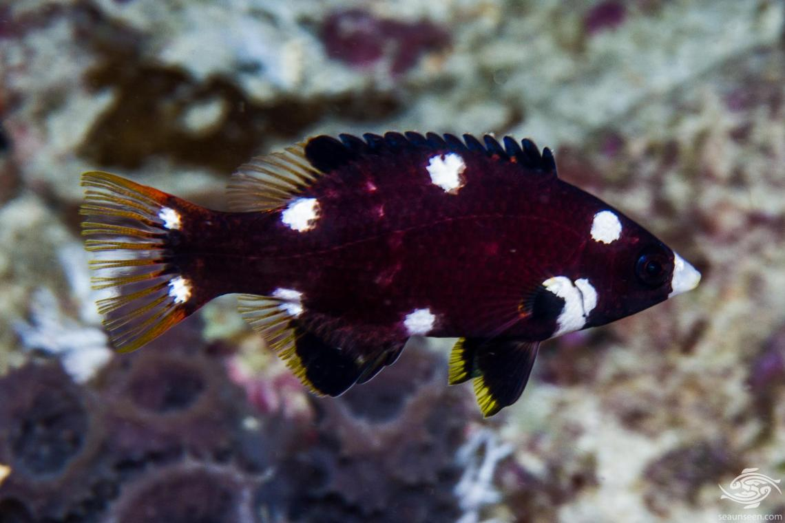 Axilspot hogfish ( Bodianus axillaris) is also known as the Coral Hogfish, Axil Pigfish, Turncoat Hogfish and the Polkadot Wrasse