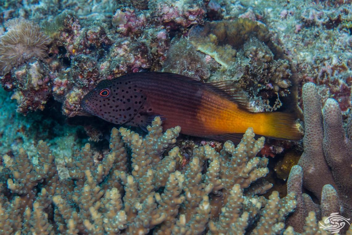 freckled hawkfish (Paracirrhites forsteri), also known as the forster's hawkfish