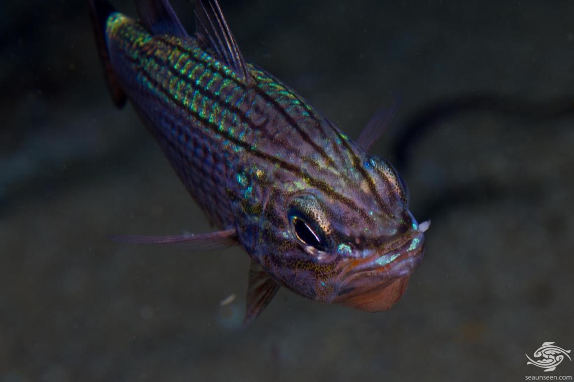 Wolf Cardinalfish, Cheilodipterus artus
