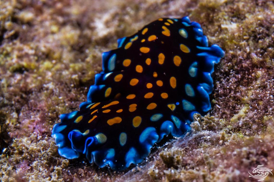 Marine Flatworms in the Turbellaria sub division of Platyhelminthes
