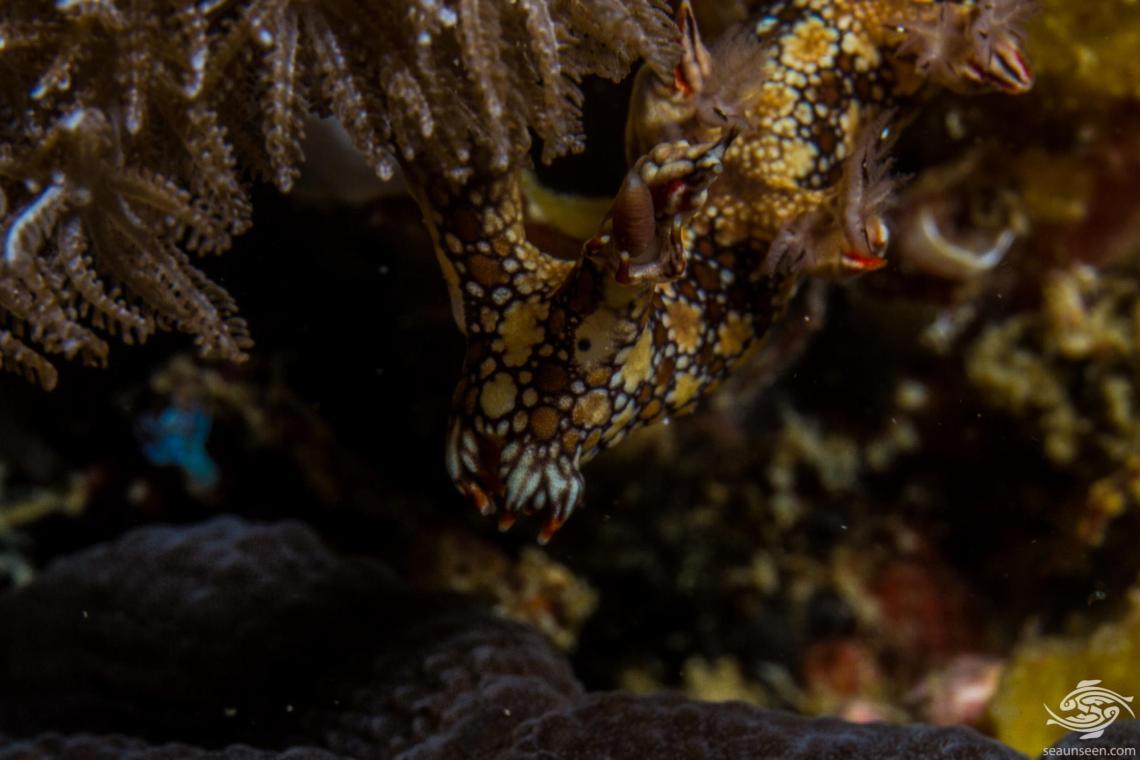 Bornella anguilla also known as the Snakey Nudibranch