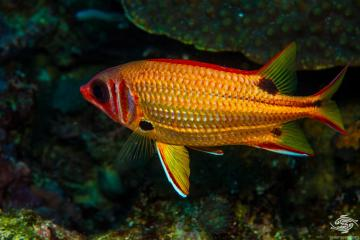 Blackblotch squirrelfish (Sargocentron melanospilos)