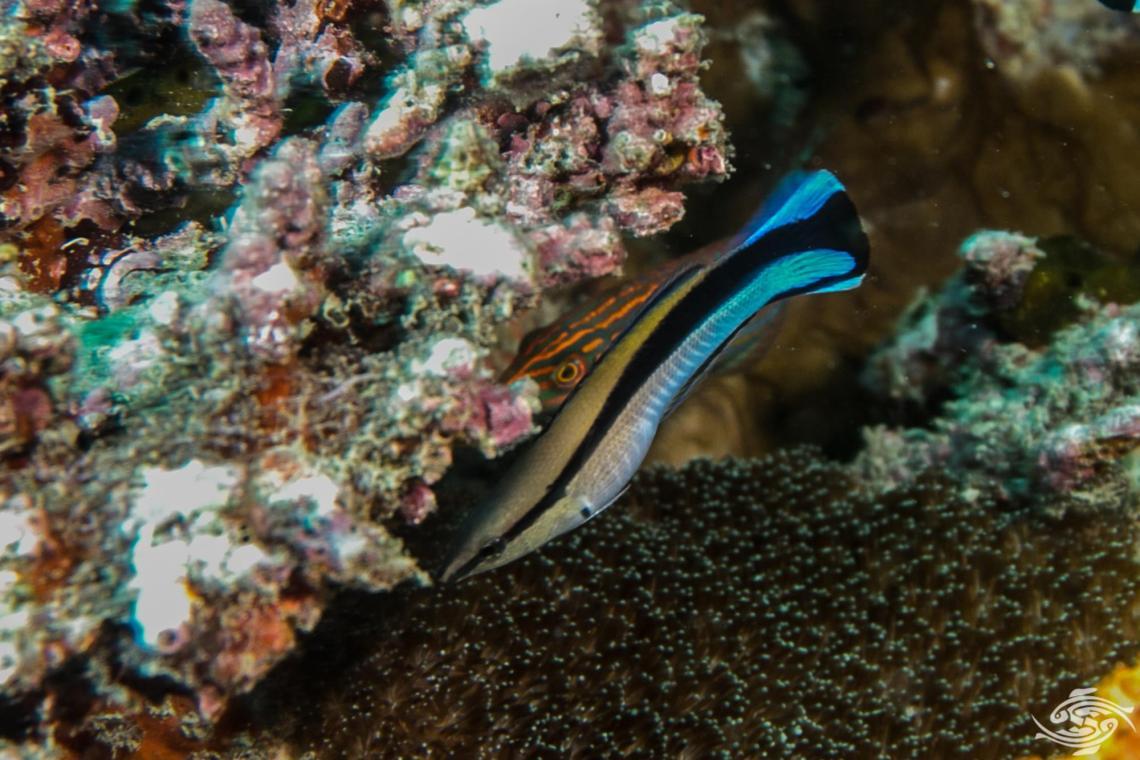 False Cleanerfish (Aspidontus tractus)