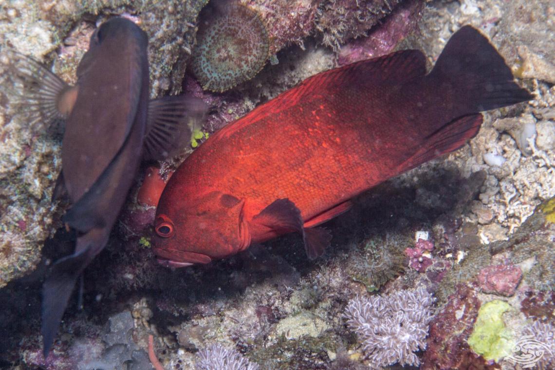 (Cephalopholis nigripinnis)Banded-tail Coral-cod, Blackfin Rockcod, Duskyfin Rockcod Cephalopholis nigripinnis
