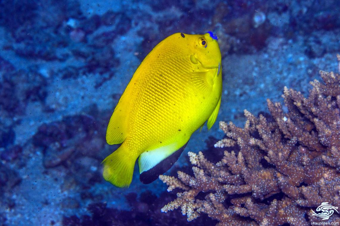 Threespot Angelfish (Apolemichthys trimaculatus) is also known as the Three-spot Angelfish and the Flagfin Angelfish