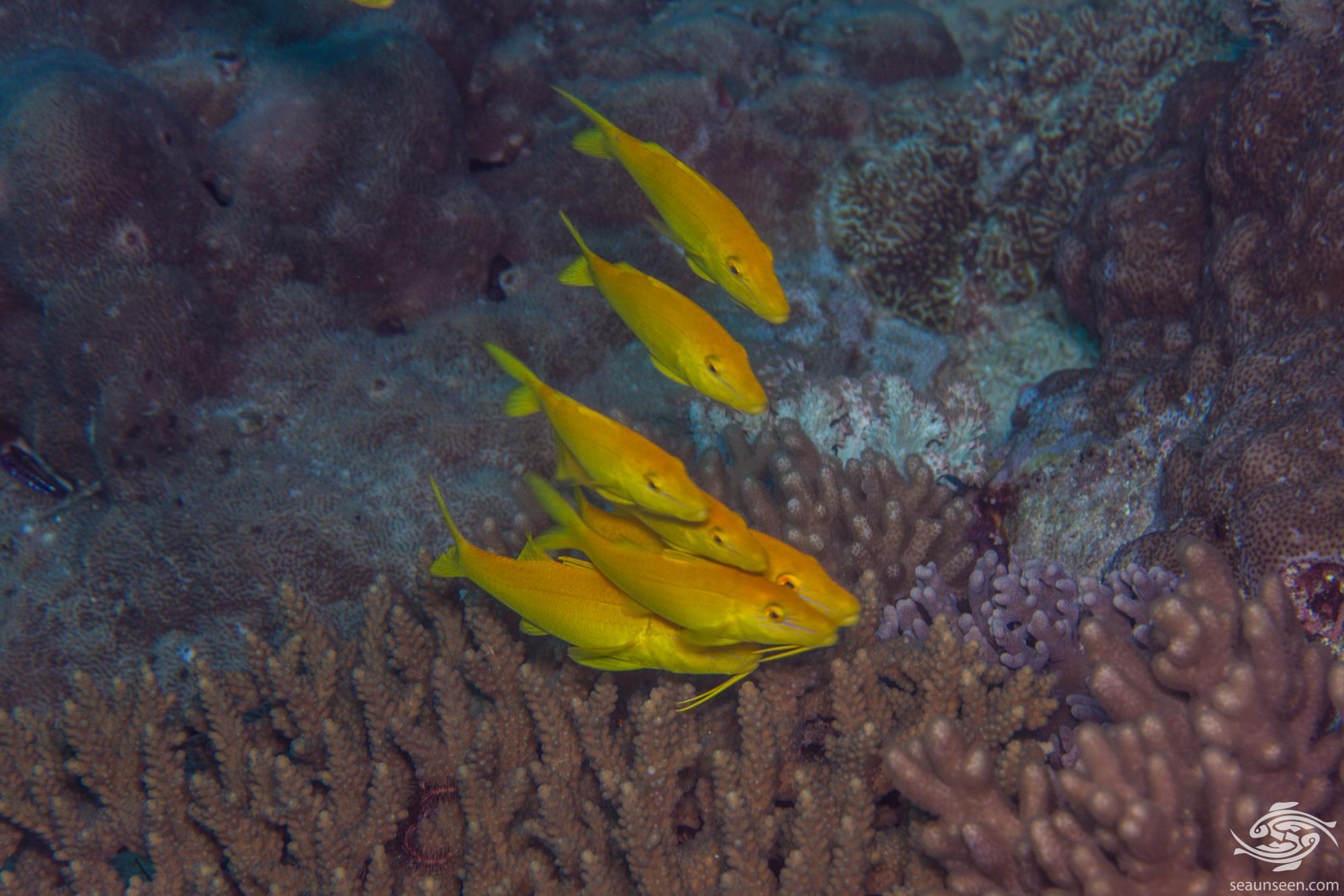 interesting fish behaviour goldsaddle goatfish or yellowsaddle goatfish, Parupeneus cyclostomus