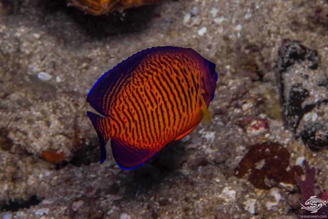 Coral Beauty Angelfish (Centropyge bispinosa) is also known as the Twospined Angelfish.
