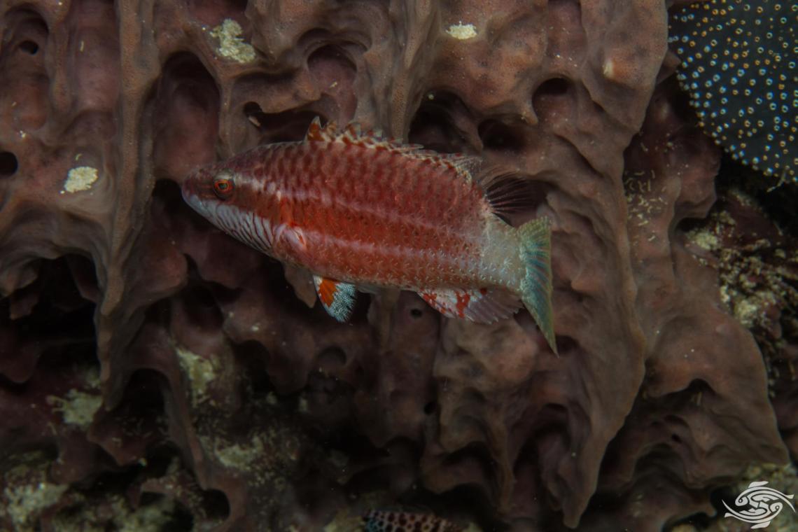 Oriental wrasse Oxycheilinus orientalis is also known as the Oriental Maori wrasse
