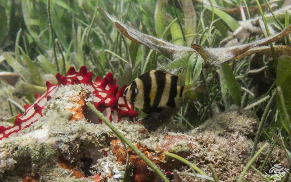 Tiger Damselfish (Chrysiptera annulata) also known as the Footballer demoiselle
