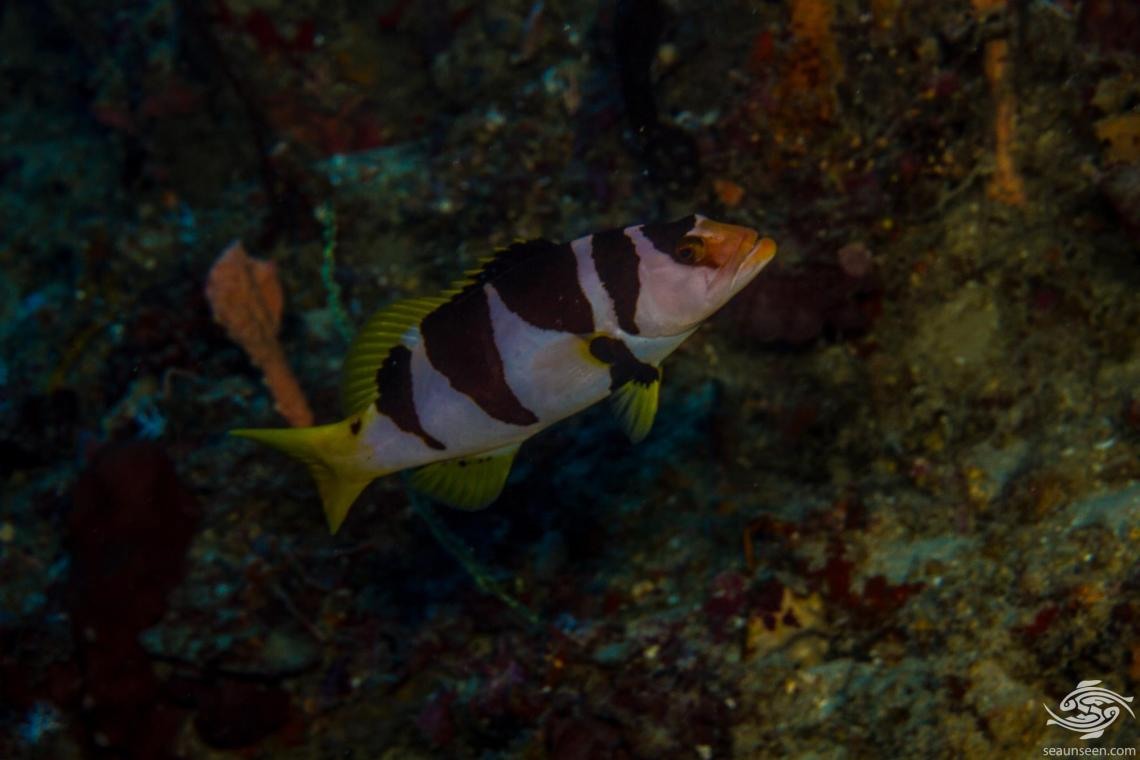 Black Saddled Coral Grouper (Plectropomus laevis) also known as the Saddled grouper