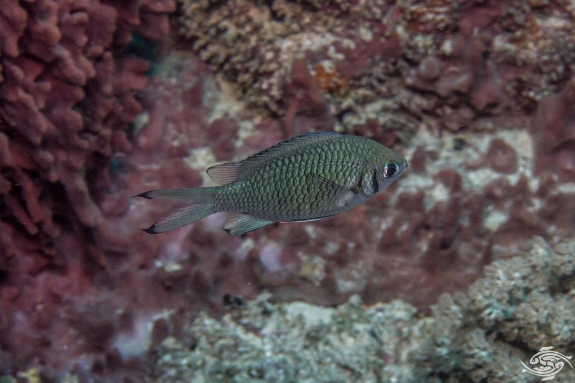 Weber's Chromis ( Chromis weberi) also known as the Dark Bar Chromis