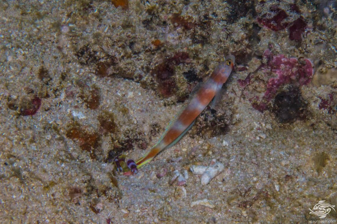 The Aurora Goby (Amblyeleotris aurora) is also known as the Aurora Shrimp Goby and the Pinkbar Goby