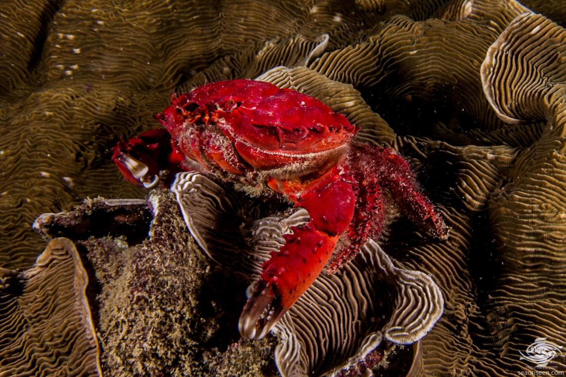 Spiny Spooner Reef Crab (Etisus dentatus) is also known as the Red Reef Crab