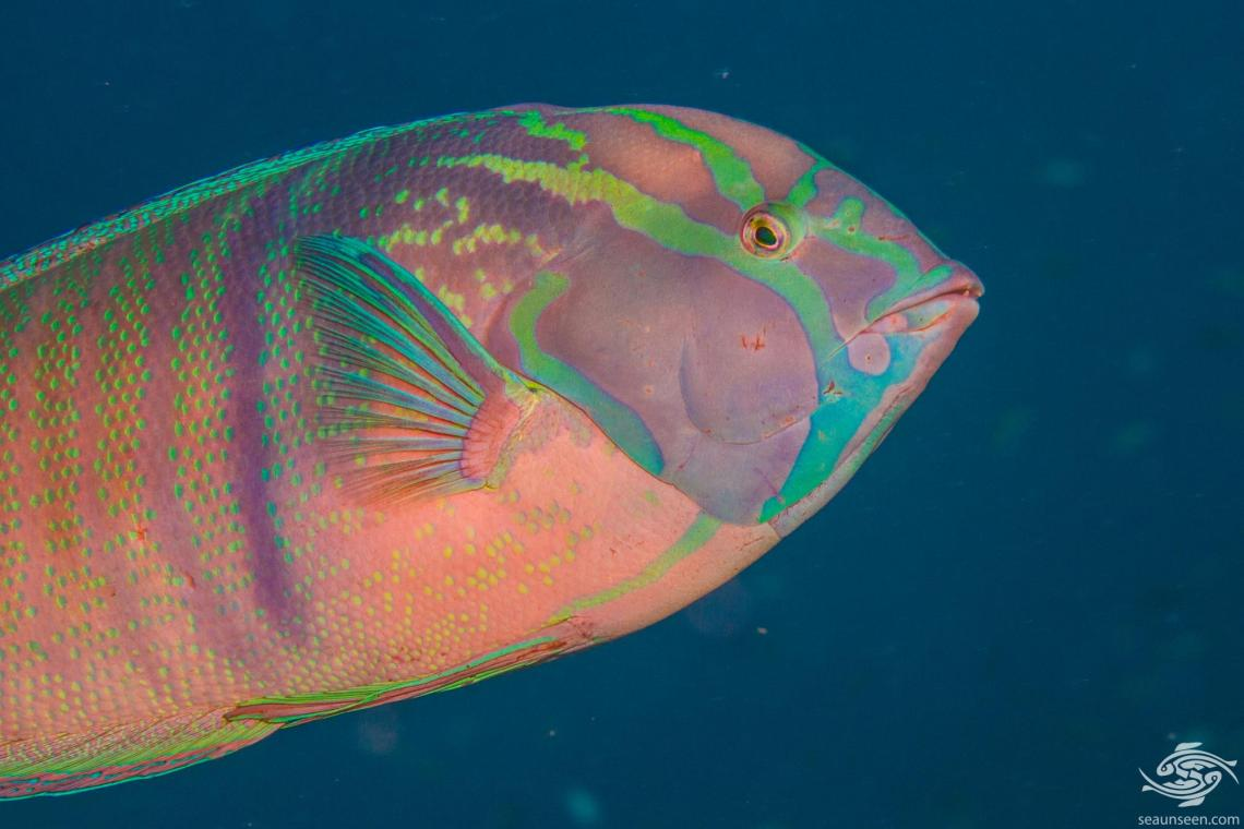 African wrasse (Coris cuvieri) is also known as the African Coris and False Clown wrasse