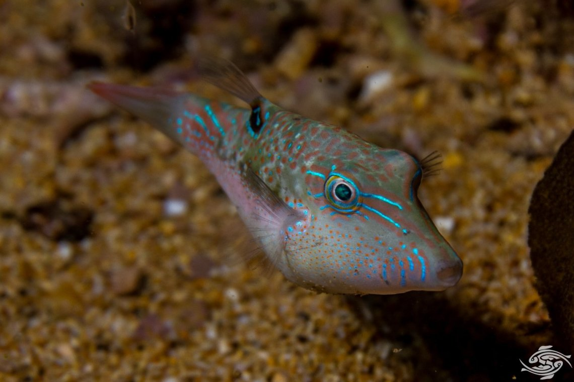 Bennett's Sharpnose Pufferfish (Canthigaster bennetti) is also known as Bennett's Pufferfish, Bennett's Toby and the Exquisite Toby