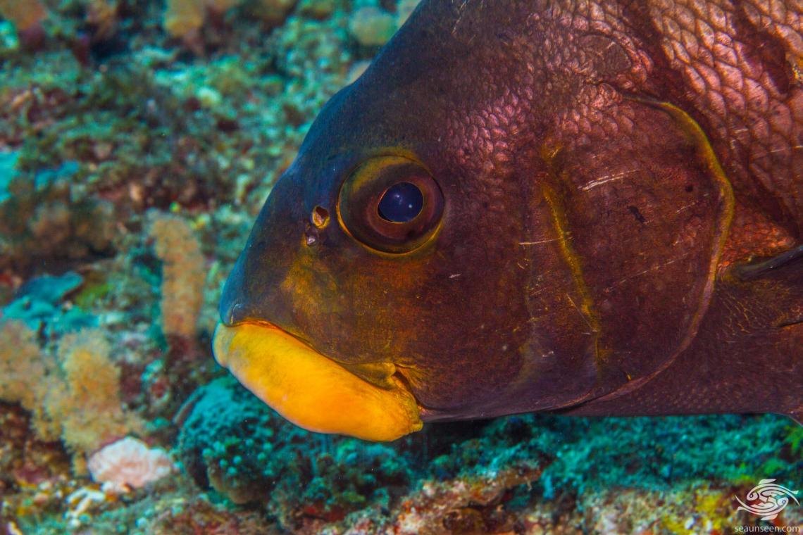 Barred rubberlip (Plectorhinchus plagiodesmus) is also known as the Redlined Sweetlips
