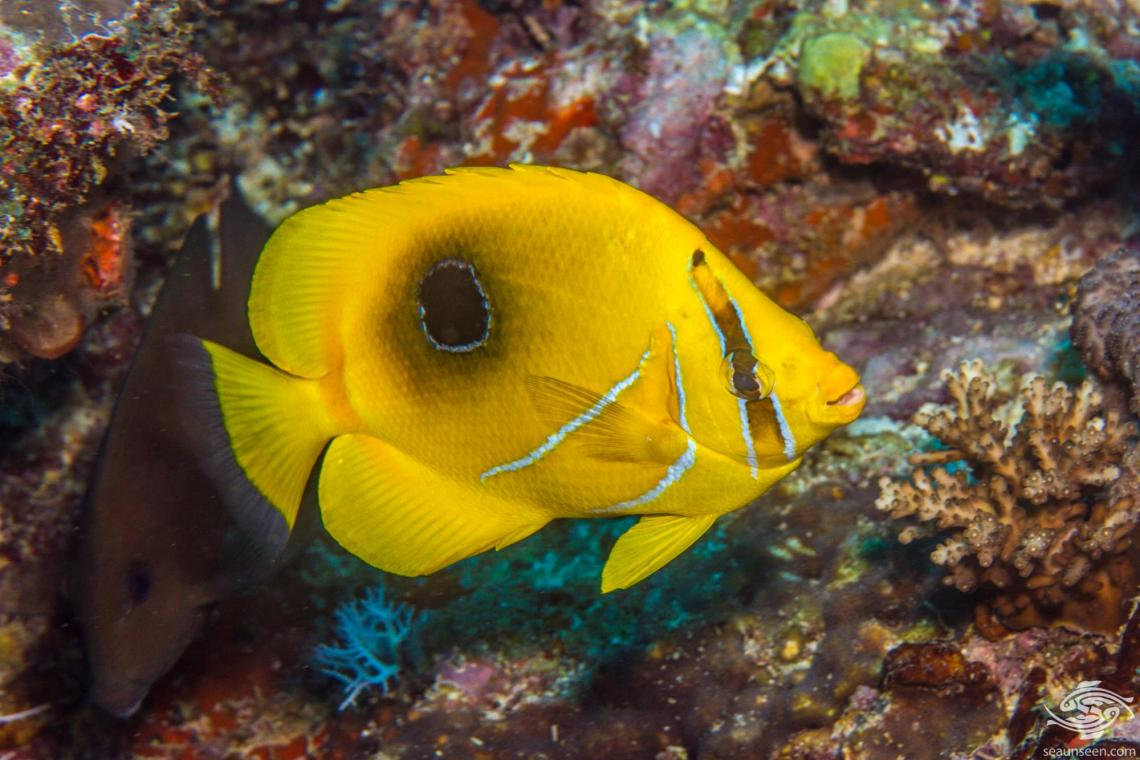 Archer Butterflyfish ( Chaetodon bennetti) is also known as Bennetts Butterflyfish, the Bluelashed Butterflyfish and the Eclipse Butterflyfish