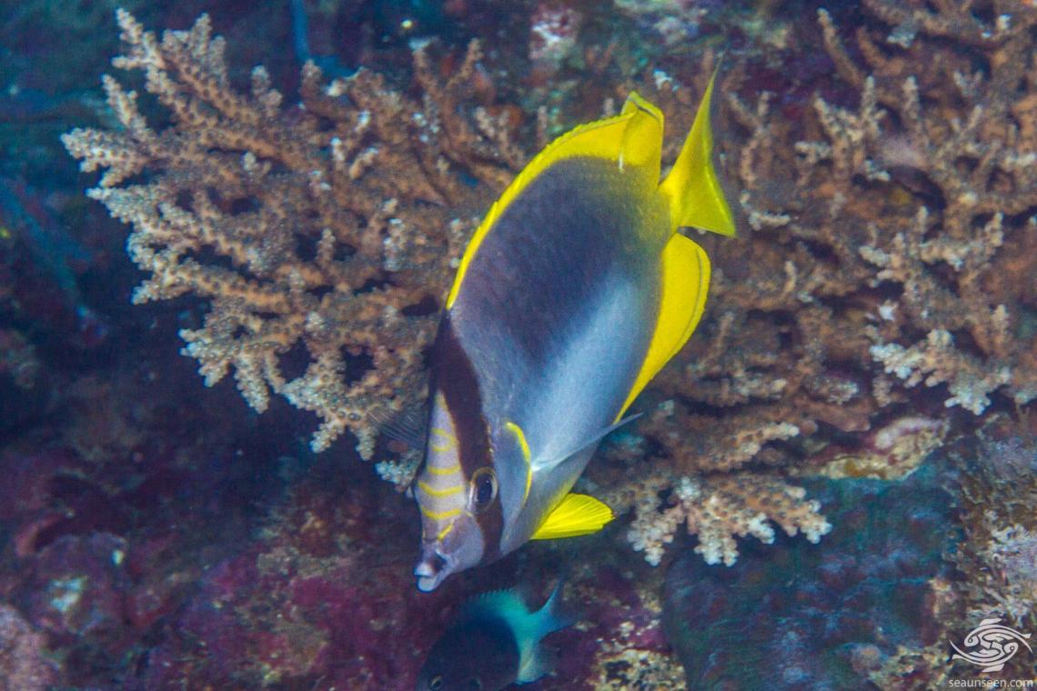 Somali Butterflyfish ( Chaetodon leucopleura)