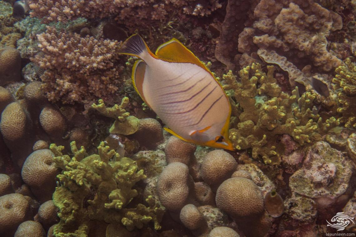 Yellowhead Butterflyfish (Chaetodon xanthocephalus) is also known as the Goldheaded Butterflyfish and Goldring Butterflyfish