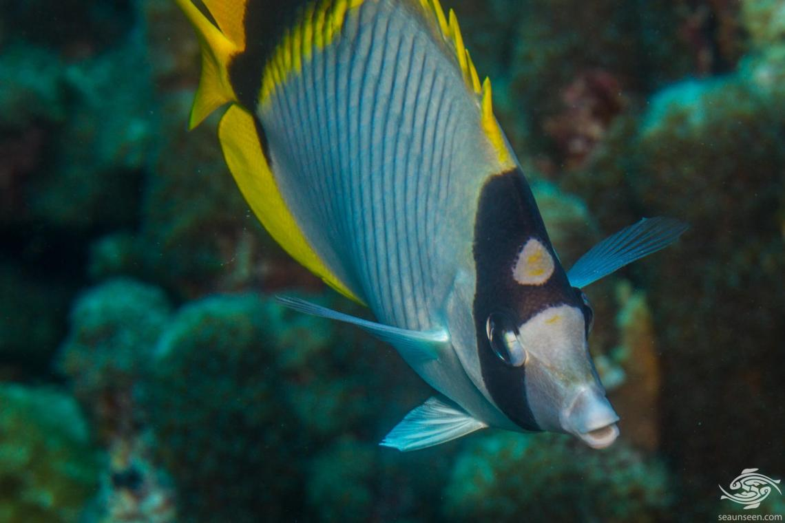 Lined Butterflyfish (Chaetodon lineolatus) is also known as the Line Butterflyfish, Lined Butterfly and New-moon Coralfish