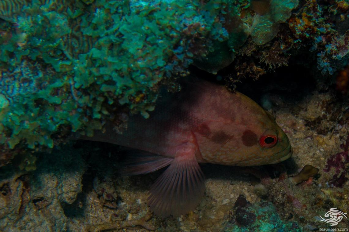 Strawberry grouper (Cephalopholis spiloparaea) is also known as the Strawberry Hind, Orange Rock Cod, Calico Grouper and Orange-red Pigmy Grouper