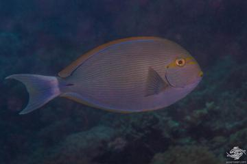 Elongate Surgeonfish (Acanthurus mata) is also known as the Yellowmask Surgeonfish, Bleeker's Surgeonfish, the Mata Surgeonfish, the Pale Surgeonfish and the Striped Surgeonfish