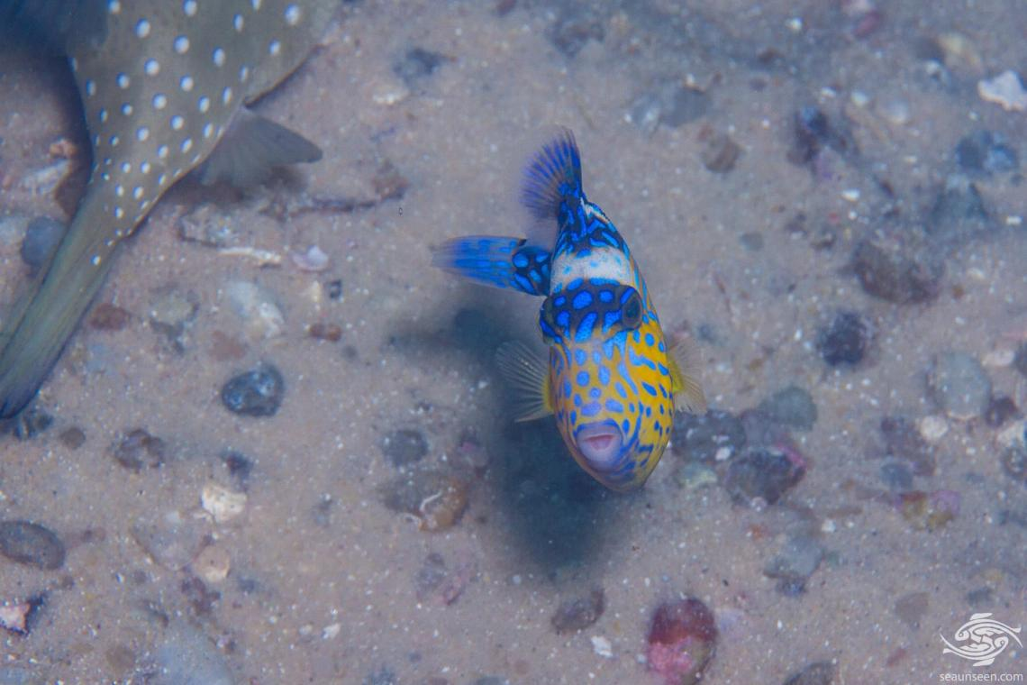 Yellow Margin Triggerfish (Pseudobalistes flavimarginatus) is also known as the Yellowmargin Trigger,Yellowface Triggerfish and Pineapple Triggerfish