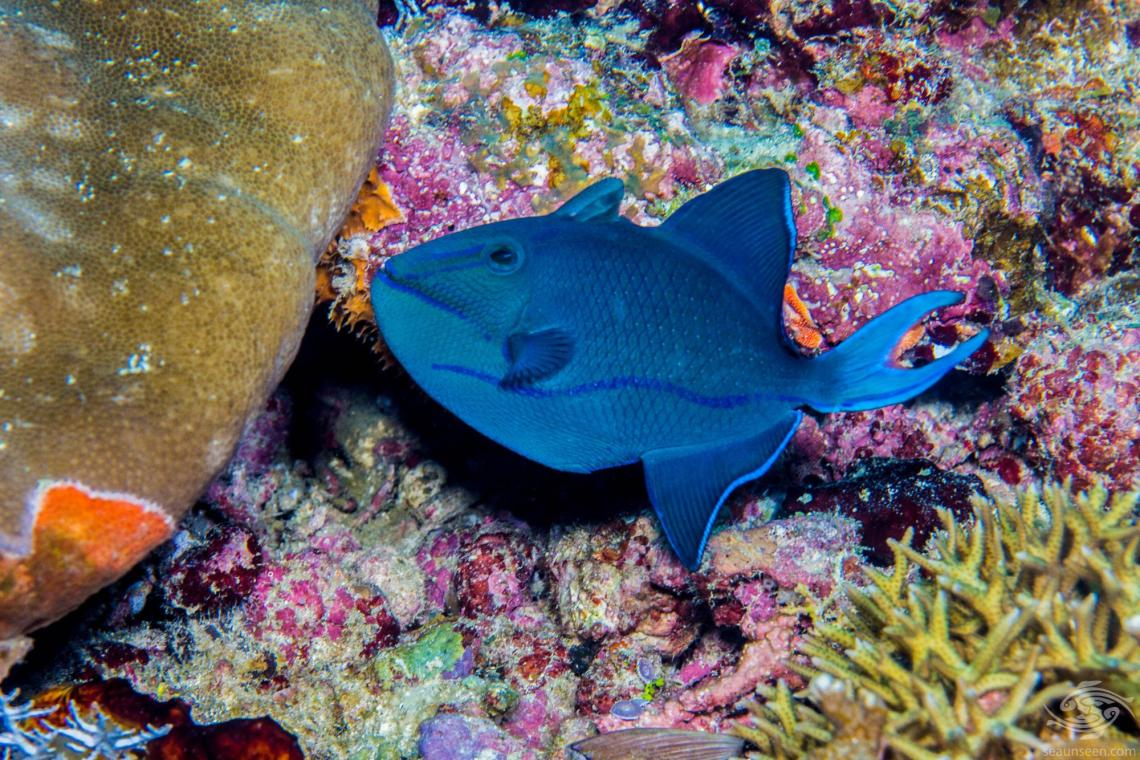Redtoothed Triggerfish (Odonus niger) is also known as the Blue Triggerfish, Redfang Triggerfish and Niger Triggerfish