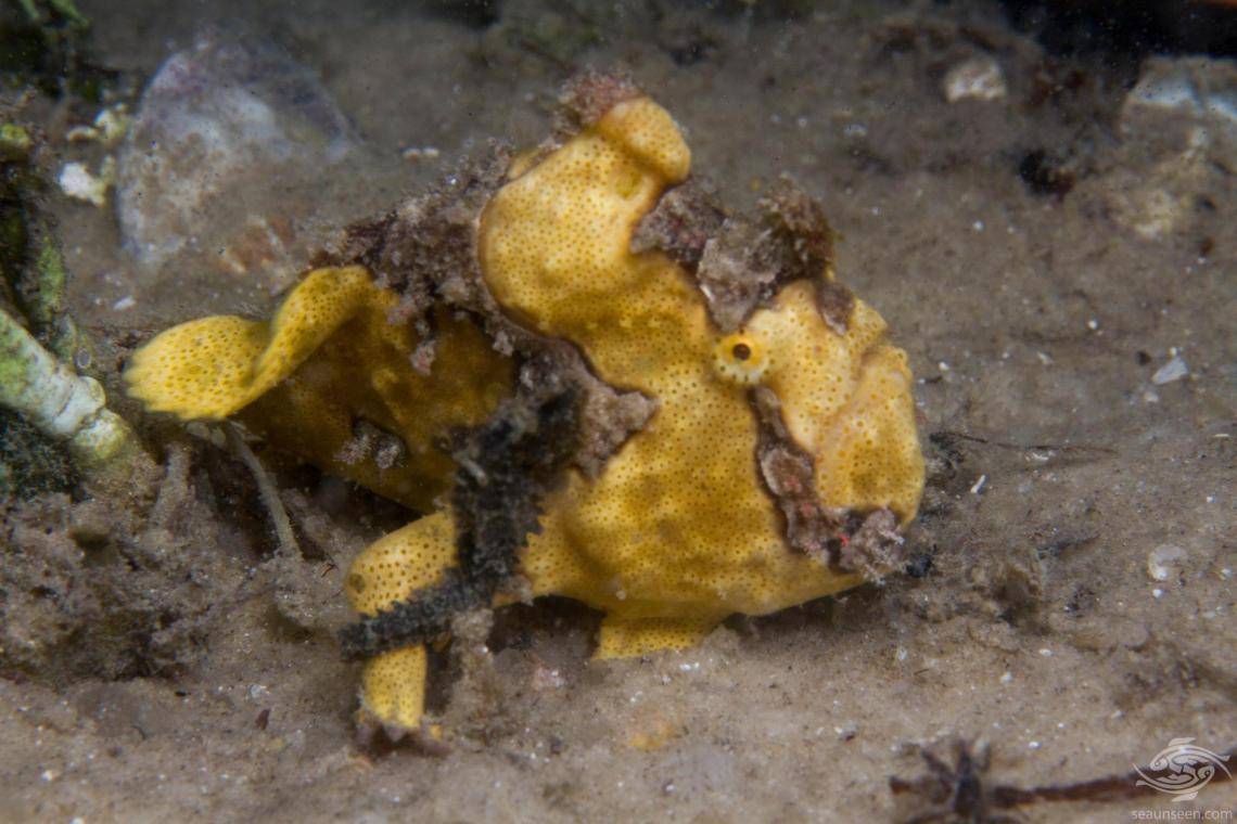 Seahorse on a Frogfish
