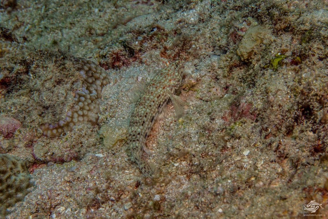 Decorated Goby (Istigobius decoratus) is also known as the Decorated Sand Goby, the Decorated Sand-Goby and the Decorated Sandgoby