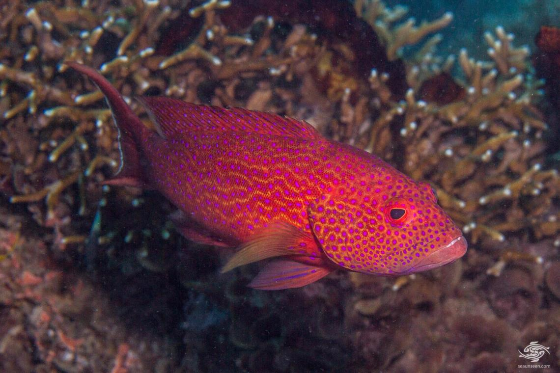 Adult Yellow-edged Lyretail Grouper (Variola louti) is also known as the the Lyretail Grouper, Common Lyre-tail Cod, Lunar-tail Cod and Lunar-tailed Rock-cod