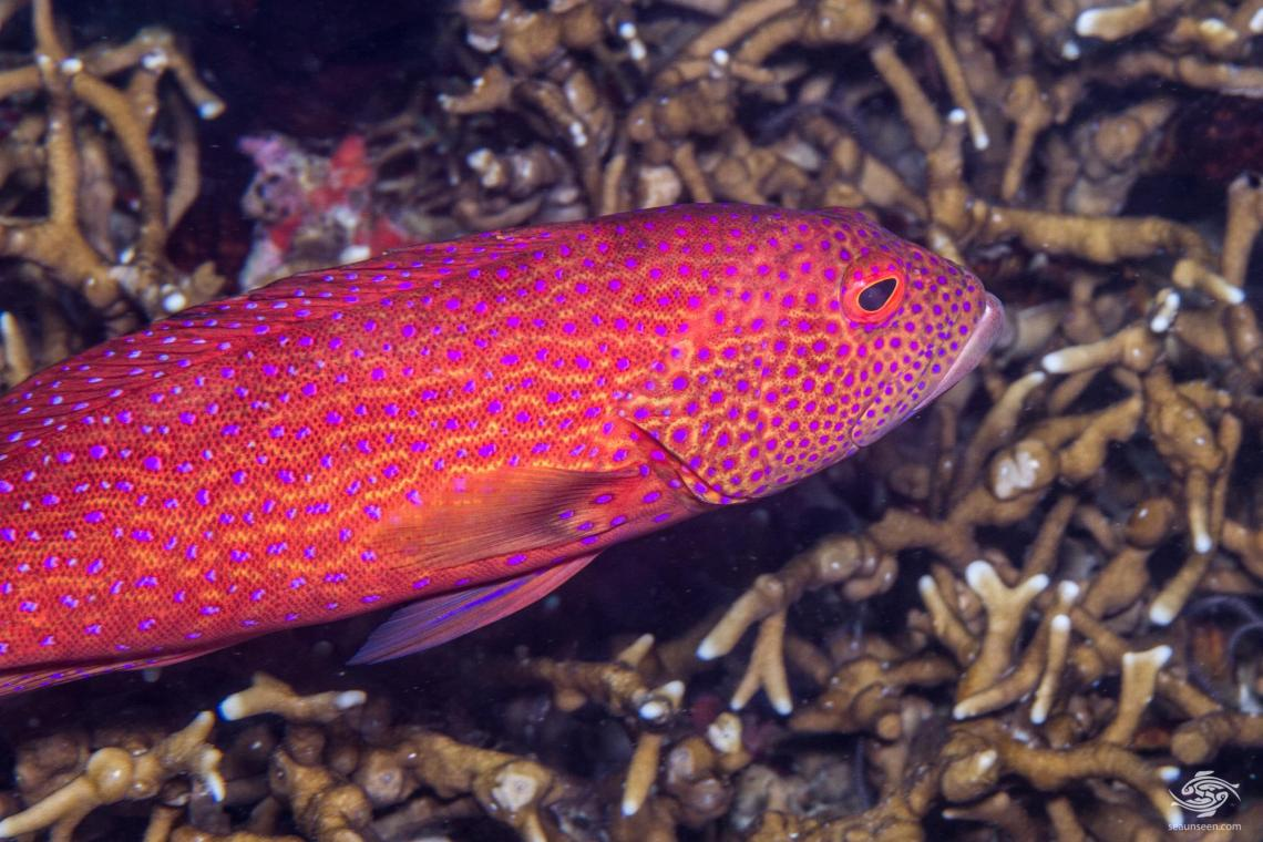 Yellow-edged Lyretail Grouper (Variola louti) is also known as the the Lyretail Grouper, Common Lyre-tail Cod, Lunar-tail Cod and Lunar-tailed Rock-cod