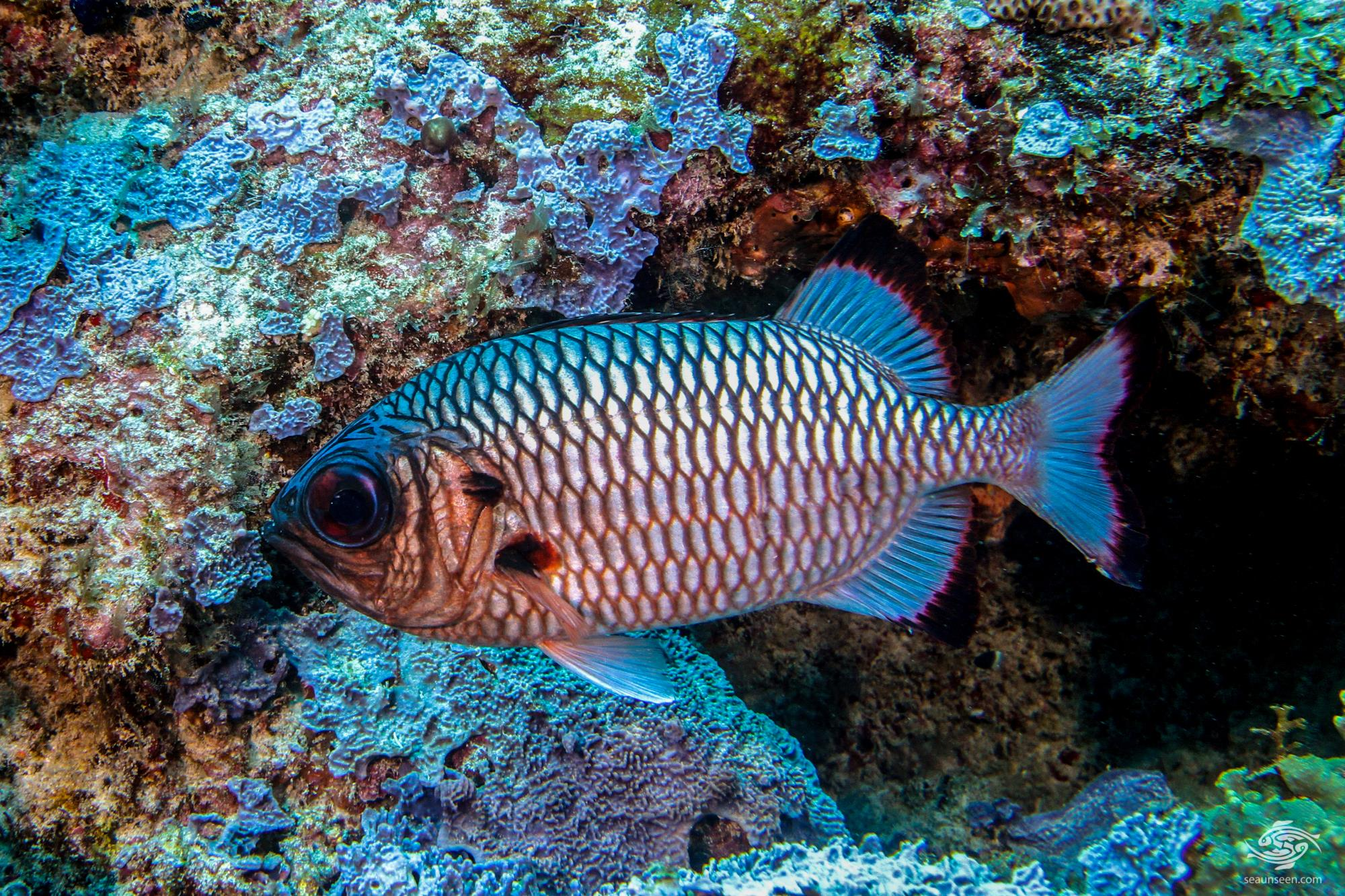 shadowfin soldierfish facts and