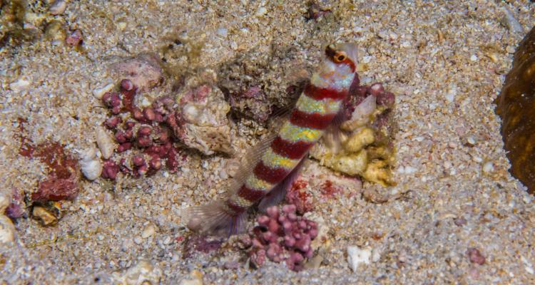 Gorgeous Shrimpgoby Amblyeleotris wheeleri also known as the Gorgeous Prawn-goby, the Barred Shrimpgoby and Wheeler's Shrimp-goby