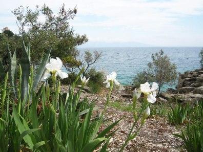 Дикие ирисы в Пальо Тсифлики, Греция