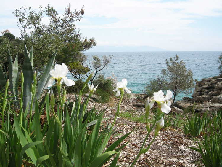 Wild irises in Palio Tsifliki, Greece