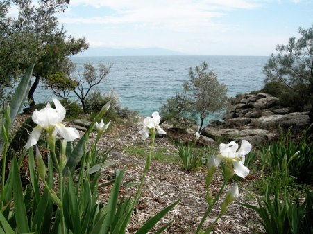 Blooming irises, Palio Kavalas, Greece