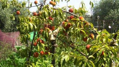 Персиковые деревья