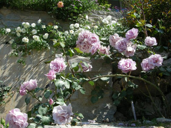 Blooming Roses, garden of Feel the Sea Villa