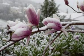 Καλυμμένα με χιόνι λουλούδια της μανόλιας