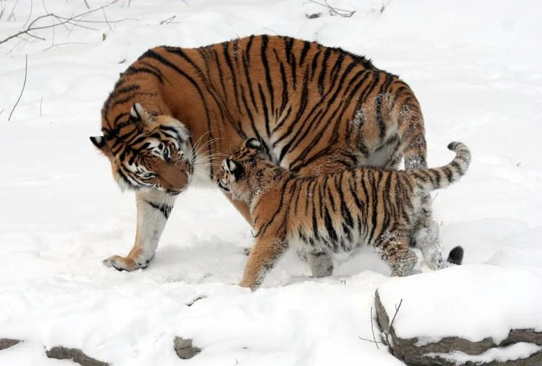 tiger-67577_1280.jpg