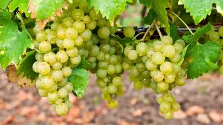 Weißweintrauben