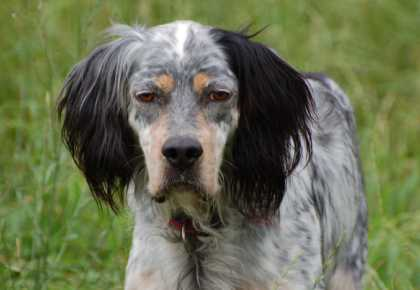 Dersu English Setter Head