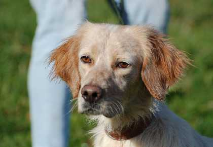 Sil English Setter head